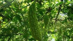 2% Best Momordica charantia fruit extract bitters