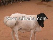 live sheep, somali, goats