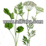 Anise Oil (Indian Aniseed Oil )