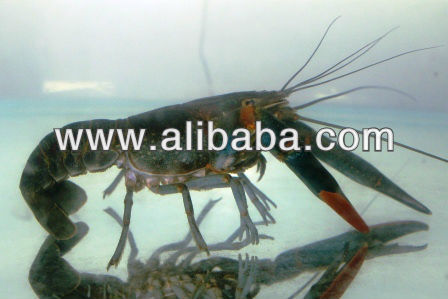 Crayfish, Freshwater Lobsters, Red Claw Lobster, Anak Benih Lobster