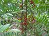 Natural Tongkat Ali/Pasak Bumi/Eurycoma longifolia jack Extract