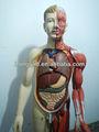 Vendas HOT 170 cm humano músculos do corpo com intenal órgãos modelo anatômico humano