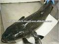 la mejor calidad de pescados y mariscos del producto natural de los peces frozen cobia