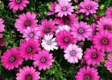 Dimorphotheca Sinuata African Daisy Purple Pink Gold Yellow Red Mixed Colors Garden Flower Bulk Seeds B0055