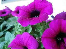 Heirloom Garden Petunia Grandiflora Hedgiflora Multiflora Purple Flower Seeds B6110