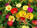 cimelio di portulaca dom portulaca rosa muschio amaranto 1000 tempo fiore semi sfusi b1115