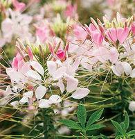 Heirloom Clemone Beeplant Bladderpod Pink Queen Spider Plant 500 Flower Bulk B1037