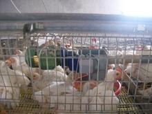 raising broiler chicken