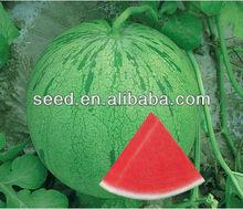 Star Shower green seedless watermelon seed