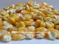 campo de sementes de milho para venda avesdecapoeira alimentos