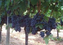Alphonse Lavalee Fresh Grape