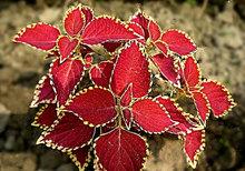 Heirloom Seeds Coleus hybridus Rainbow Improved Painted Nettle Flower Bulk Seeds