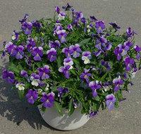 Heirloom Seeds Viola hybrida Violet F1 Gem Ice Blue Penny Pansy Garden Flower Bulk Seeds