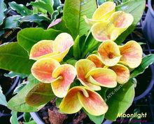 "Live Ornamental Plants and Euphorbia milii plant ""Moonlight"""
