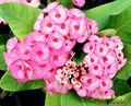 """Live plantasornamentais e milii euphorbia planta"""" siam ruby"""""""