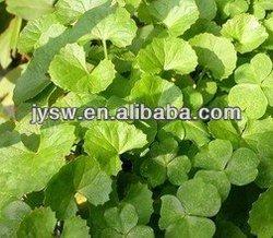 Gotu Kola Extract 10% Triterpenes