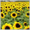 /product-tp/refined-sunflower-oil-for-sale-export--148787666.html