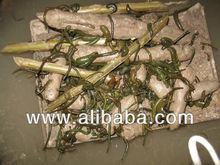 Hirudo medicinalis Leech