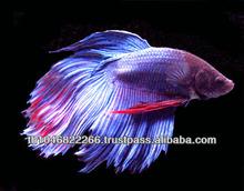 Wholesale Betta fish / Ornamental fish