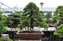 Japanese Bonsai for Business Wealth