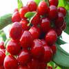 China export 100% Acerola Cherry Powder
