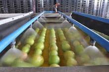 Mango Directly From Farm in Pakistan