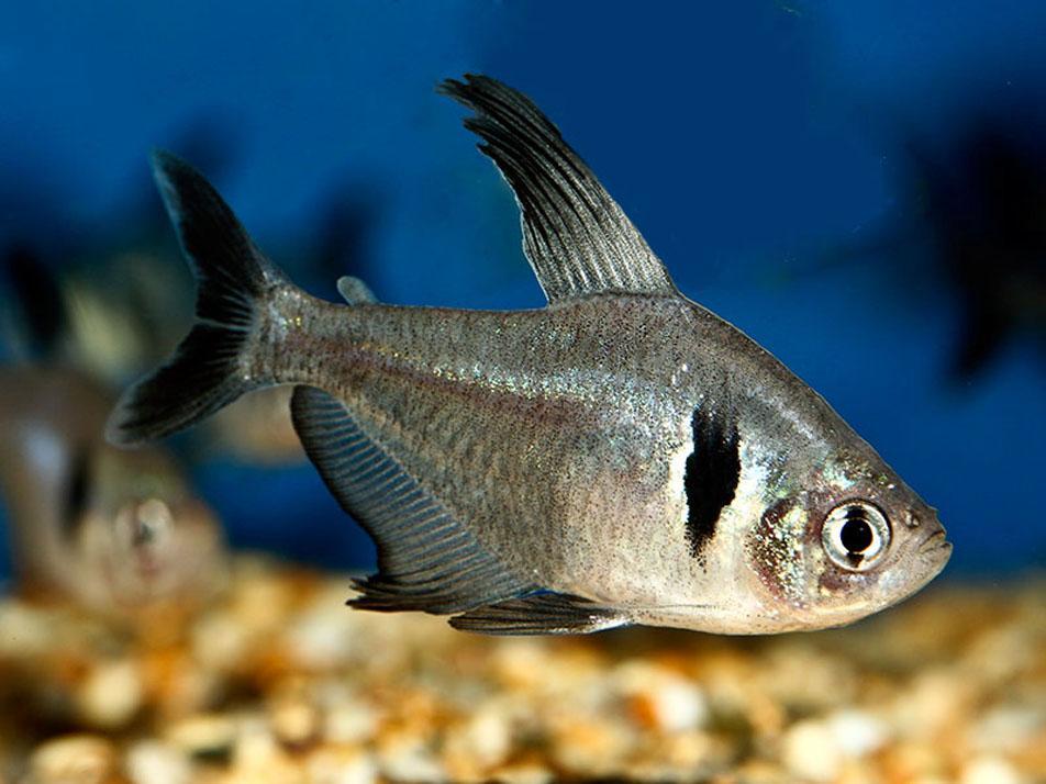 ... > Tropical Fish > Tetra Fish > TROPICAL FISH BLACK PHANTOM TETRA