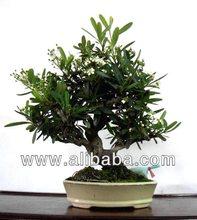 Taiwan Bonsai - Firethorn (no.1403_23)
