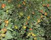ziziphus spina-christi plants from Pakistan