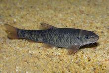 GARRA RUFA DOCTOR FISH (2,3,4,5,6 Cm) include Health, Pythosanitary, and CITES Certificates