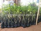 GRAFTED MANGO PLANTS