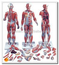 モデルの解剖学的筋肉smd02905