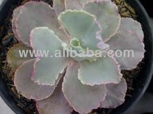 succulent plant, echeveria