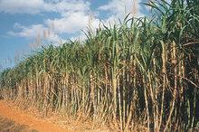 Thailand fresh sugarcane