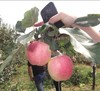 2014 new crop fresh apples Red gala fresh apple fruit exporters from china in low price