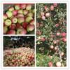 Fruit market price fresh red gala apple green gala apple fresh apple fruit for exporting