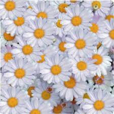 High Quality Natural Calming Herbal Tea CHAMOMILE, Organic chamomile flower, chamomile powder