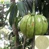 GMP Suppliers High Purity Garcinia Cambogia powder 95%