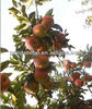Seasonable fresh red star apple fruit export for sale in china