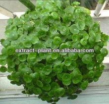 Gotu Kola P.E/ Gotu Kola Extract Powder Total Triterpenes 40%