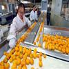2014 new crop Pulltion-free fresh baby mandarin orange fruit in wholesale price