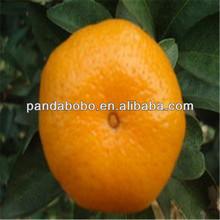 Juicy fresh in china baby mandarin orange fruit for sale