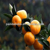 2014 new crop fresh baby mandarin orange fruit from china in high quality