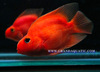 Red Parrot Cichlid Fish Farm For Sale and Export