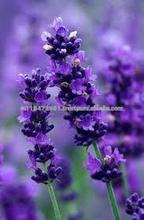 100% Pure Lavender Oil Super Qualiy