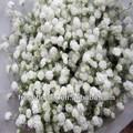 gypsophila زهرة العرض