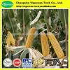 100% natural Cornsilk Extract/Cornsilk Extract powder/zea mays extract
