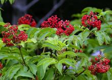 Anthocyanidins 25% Elderberry extract / Sambucus nigra L.