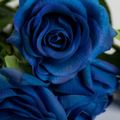 Casamentos mini azul royal rose flor artificial, látex flores toque real
