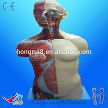 HOT SALES Dual Sex Torso body model 85CM 32parts human anatomical